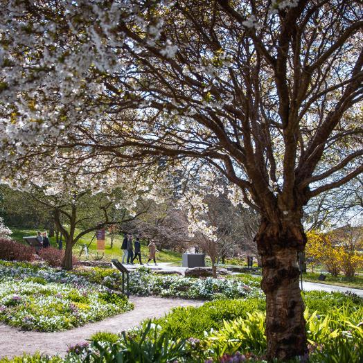 Cherry blossom tree in Botaniska, Gothenburg